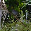 Canaveral National Seashore - Gray Catbird