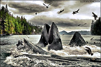 """WHALEFEST REVISITED"",Humpback whales,Southeast Alaska,USA."