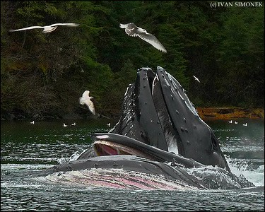"""BIRDS AND WHALES #2"",two Humpback whales feeding,Southeast Alaska,USA."