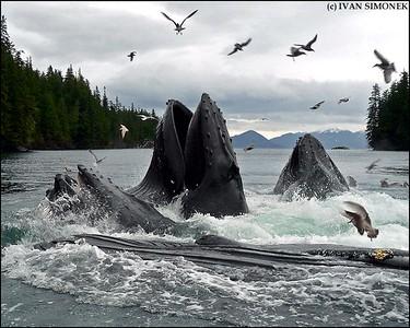 """""""WHALEFEST #2"""",four Humpback whales feeding,Southeast Alaska,USA."""