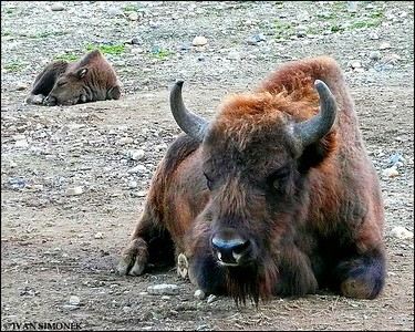 """SOOOO TIRED"",Bison,Prague Zoo,Prague,Czech Republic."