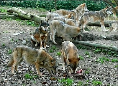 """FEEDING TIME"", wolves, Prague zoo, Prague, Czech Republic."