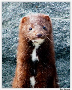 """AM I CUTE OR WHAT?"", mink, Wrangell, Alaska, USA.-----""NEJSEM ROZTOMILY?"", norek americky, Wrangell, Aljaska, USA."