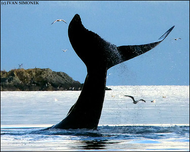 """HIGH TAIL"",a Humpback whale,Southeast Alaska,USA."