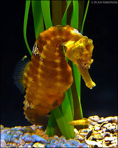 """HORSING AROUND"",Sea Horse,Seattle Aquarium,Seattle,Wash.,USA."