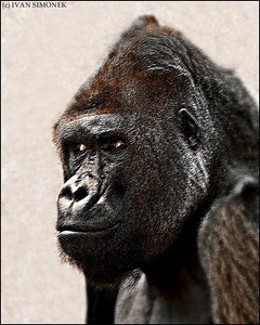 """KING KONG"",a gorilla,Prague Zoo,Czech Republic."