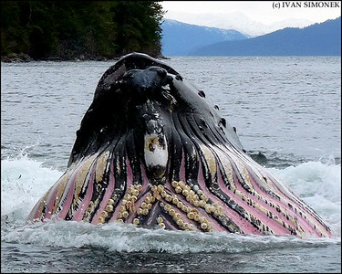 """FULL MOUTH"",a Humpback whale feeding,Southeast Alaska,USA."