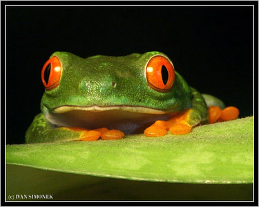 """WHO IS WATCHING WHOM?"", a red eyed tree frog native to Central and South America."