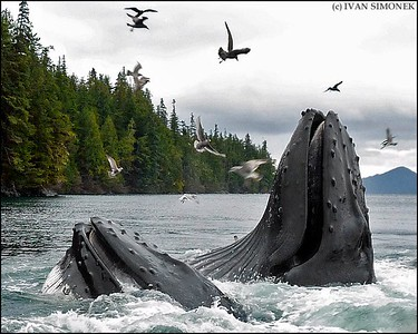"""BIRDS AND WHALES #1"",two Humpback whales feeding,Southeast Alaska,USA."