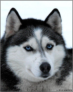 """BLUE EYES"", a husky, Wrangell, Alaska, USA."