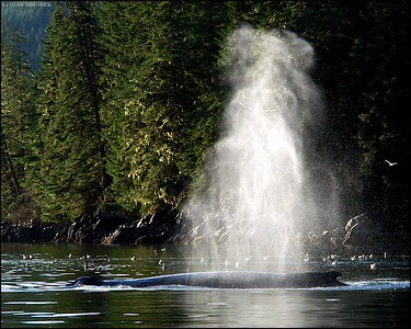 """THERE SHE BLOWS"",a Humpback whale,Southeast Alaska,USA."