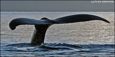 """MIGHTY TAIL"",a Humpback whale,Southeast Alaska,USA."