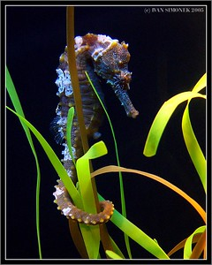 """ A SEA HORSE"", Seattle aquarium, Seattle,Wash.,USA-----""MORSKY KONIK""."