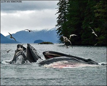 """HAVING LUNCH"",two Humpback whales,Southeast Alaska,USA."