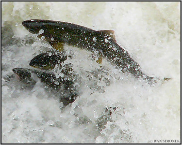 """A HIGH EFFORT"", pink salmon fighting Anan creek rapids, Alaska, USA."