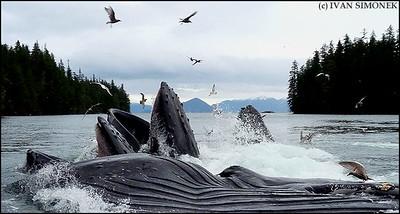 """""""WHALEFEST #1"""",four Humpback whales feeding,Southeast Alaska,USA."""