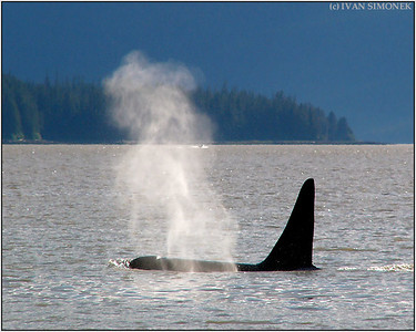 """DEEP BREATH"", a killer whale, Southeast Alaska, USA."