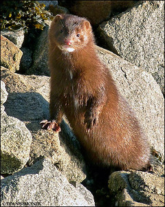 """MR. NATURAL"",a Mink,Wrangell,Alaska,USA"