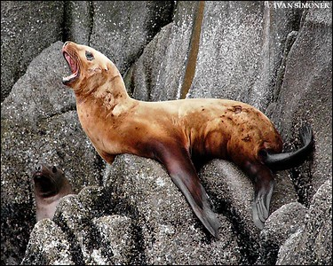 """""""HELP!"""",Steller sea lions,Alaska,USA."""