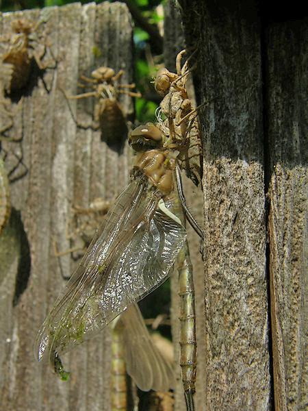 Dragonfly Morph