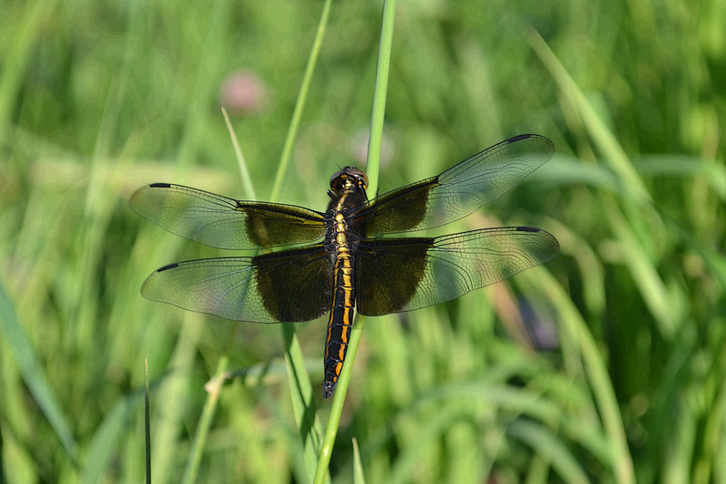 Dragonfly,