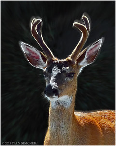 """BUCK PRIDE 1"",a Sitka Blacktail deer,Wrangell,Alaska,USA."