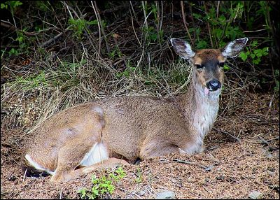 """TAKING FIVE"", a Sitka blacktail deer resting, please note the sticking tongue.Wrangell, Alaska,USA.-----""ODPOCINEK"",sitska cernoocasa srna,prosim vsimnete si vycnivajiciho jazyku. Wrangell, Aljaska,USA."