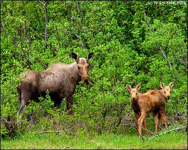 """INTERRUPTED LUNCH"",Shakes Slough,Alaska,USA."