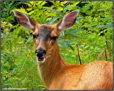 """NOW  WHAT?"", a Sitka Black Tail deer, Wrangell, Alaska, USA-----""A CO TED?, sitska cernoocasa srnka, Wrangell, Aljaska, USA."