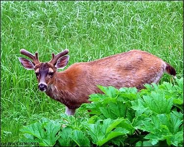 """IN THE GREEN"",a Sitka Blacktail deer,Petersburg,Alaska,USA."