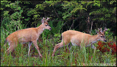 """TWO BUCKS"",Sitka Blacktail deer,Wrangell,Alaska,USA."