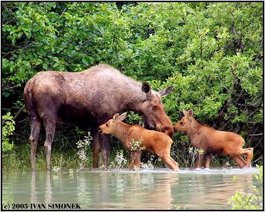 """MOTHER WITH TWINS"", Stikine river, Alaska, USA.-----""MATKA S DVOJCATY"", reka Stikine, Aljaska, USA."