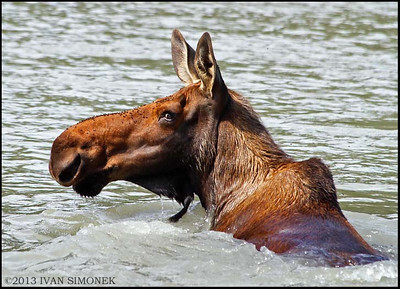 """SWIMMING MOOSE"",Stikine River,Alaska,USA."