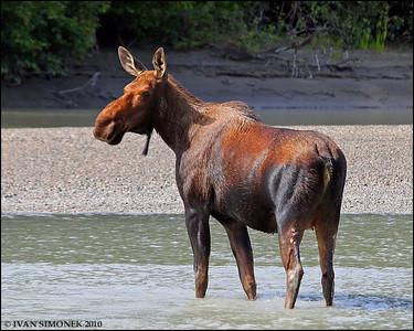 """HESITANT"",a cow Moose,Stikine River,Alaska,USA."
