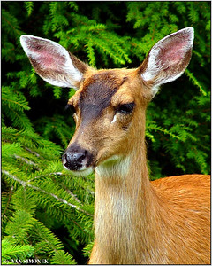 """A SERIOUS BEAUTY"", a Sitka blacktailed deer, Wrangell, Alaska, USA-----""VAZNA KRASAVICE""."