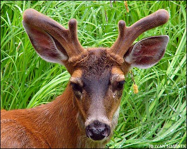 """MR.BUCK"",a Sitka Blacktail deer,Petersburg,Alaska,USA."