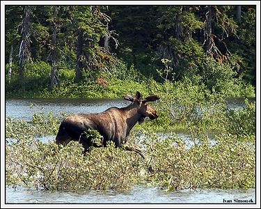"""RUNNING MOOSE"", Stikine river, Alaska, USA.-----""LOS V BEHU"", reka Stikine, Aljaska, USA."