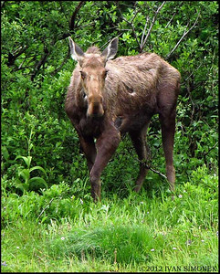 """SKINNY MOOSE"",Shakes Slough,Alaska,USA."