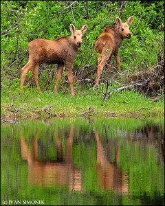 """WHAT?"",moose calves,Shakes Slough,Alaska,USA."