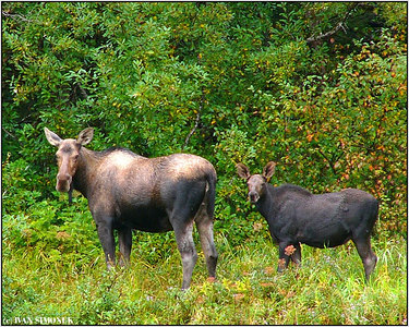 """SYNCHRONIZED"", a moose cow with calf, Stikine river, Alaska, USA-----""SYNCHRONIZACE"", losice s teletem, reka Stikine, Aljaska, USA."