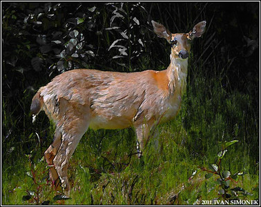 """STARTLED 1"" (photo converted to painting),Sitka Blacktail deer,Wrangell,Alaska,USA."