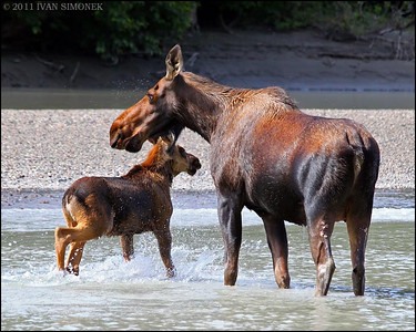 """COME TO MAMA"",a cow Moose with a calf,Stikine river,Alaska,USA."