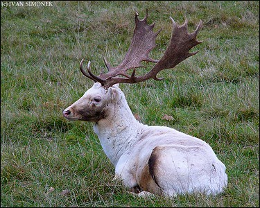 """MAJESTIC"", a Fallow Deer, Czech Republic."