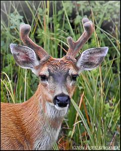 """BUCK PRIDE 2"",Sitka Blacktail deer,Wrangell,Alaska,USA."