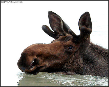 """SWIMMING BULL"",moose,Stikine river,Alaska,USA."