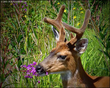 """FIREWEED EATER"",a Sitka Blacktail buck,Wrangell,Alaska,USA."