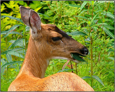 """TASTY..."", a Sitka blacktailed deer, Wrangell, Alaska, USA-----""CHUTNE...""."