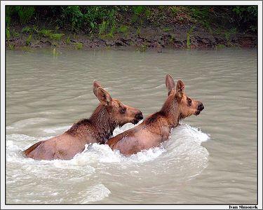 """""""MOOSE TWINS"""", Stikine River, Alaska, USA-----""""LOSI DVOJCATA"""", reka Stikine, Aljaska, USA."""