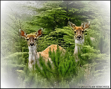 """PICTURESQUE COUPLE"",Sitka Blacktail deer,Wrangell,Alaska,USA."