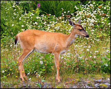 """TIME TO SMELL THE DAISIES"", a Sitka Blacktail deer,Wrangell,Alaska,USA."